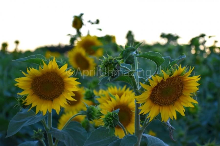 Sunflower Family  Print