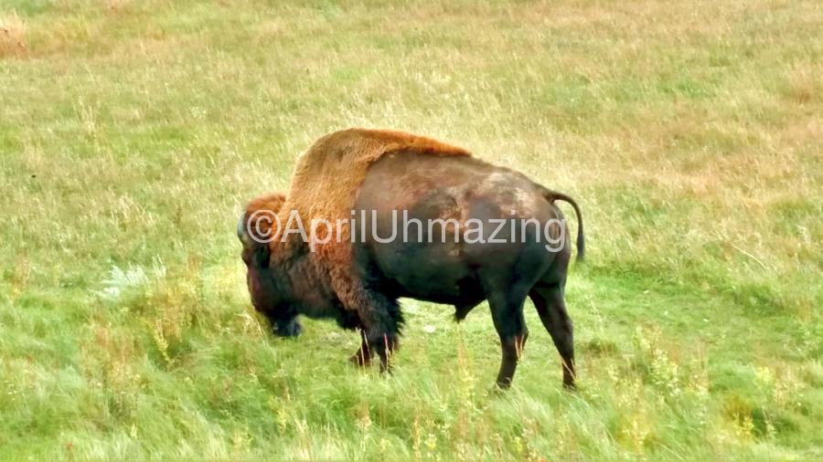 Lone Buffalo Custer State Park  Print