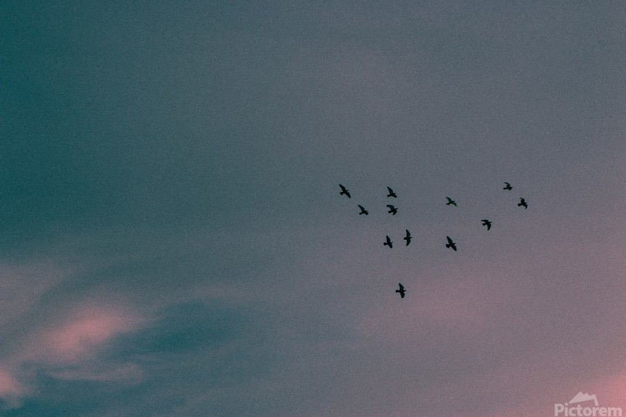 Flock of birds  Print