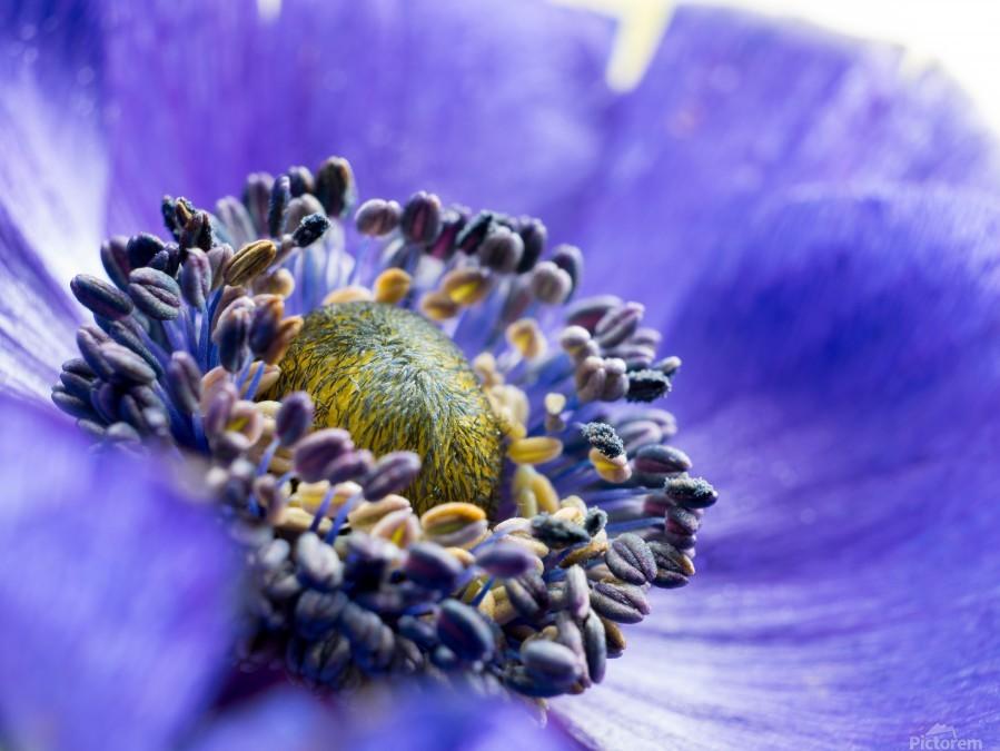 Blue Flower Anemone Close-up Macro  Print