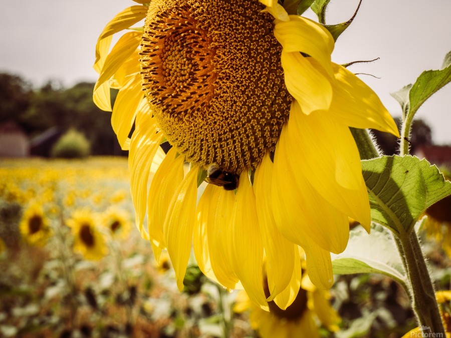 Sunflower with Bee  Print