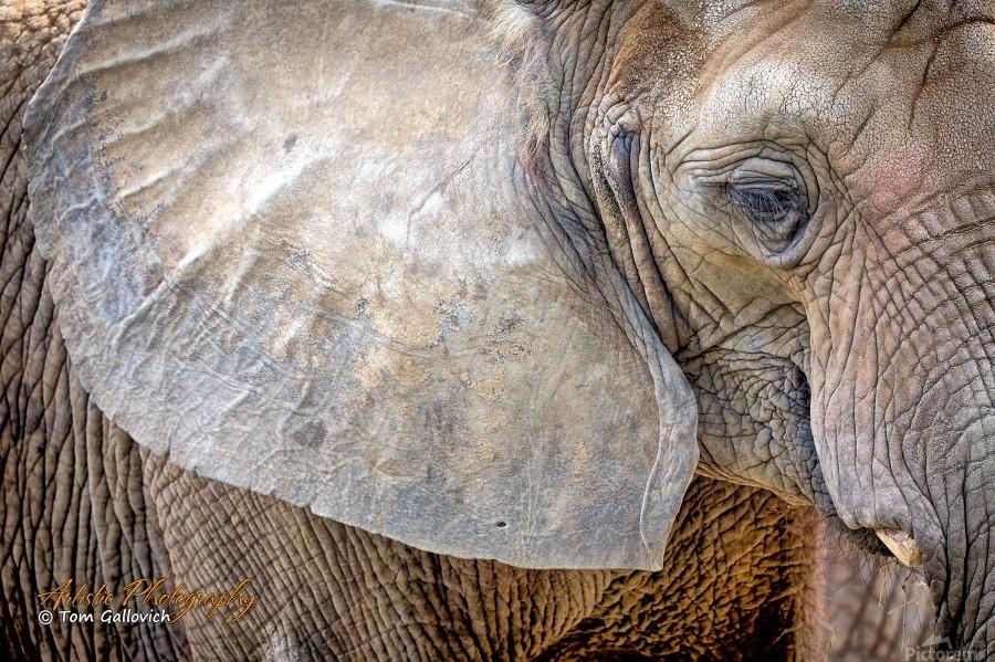 Elephant - AP 3132  Print