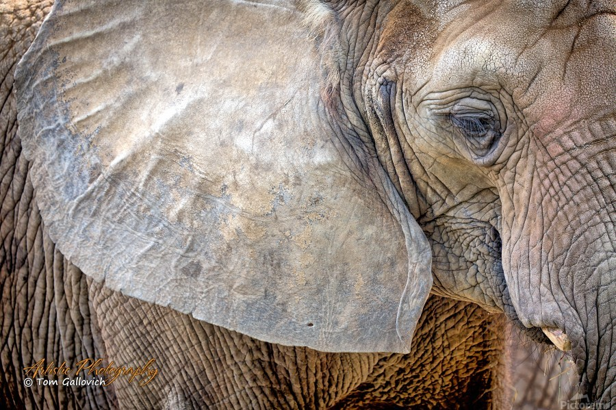 Elephant - APC-186  Print