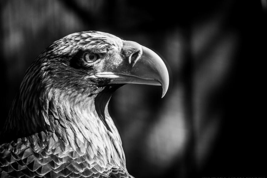 Eagle ap 2046 B&W  Print