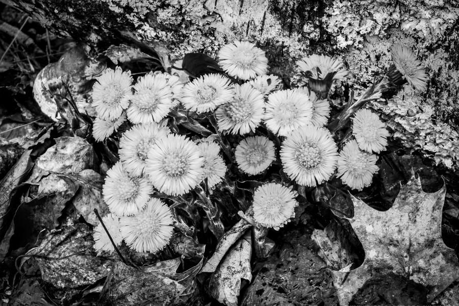 Flowers ap 2222 B&W  Print