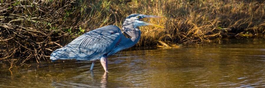 Great Blue Heron ap 2133  Print