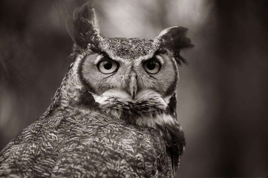 Great Horned Owl ap 2860 B&W  Print