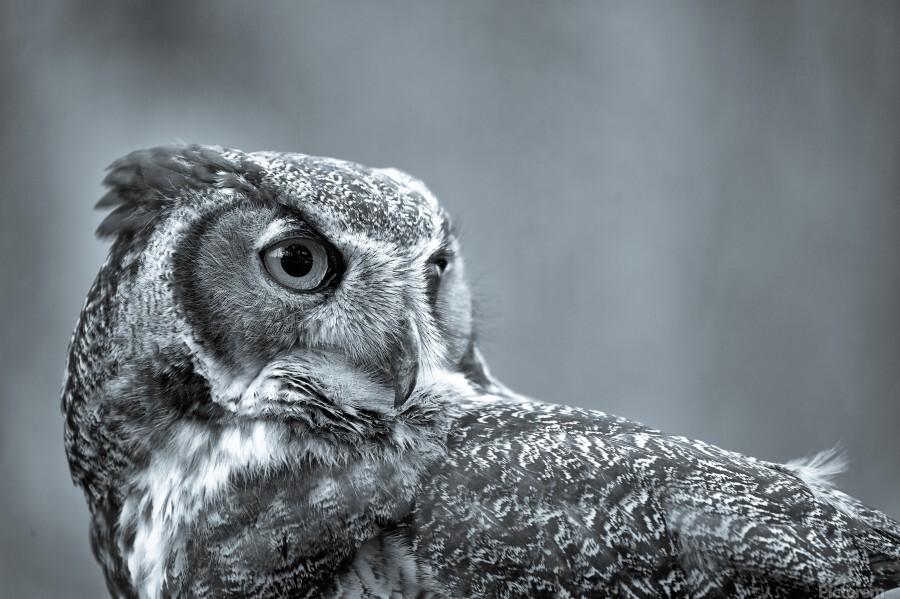 Great Horned Owl ap 2861 B&W  Print