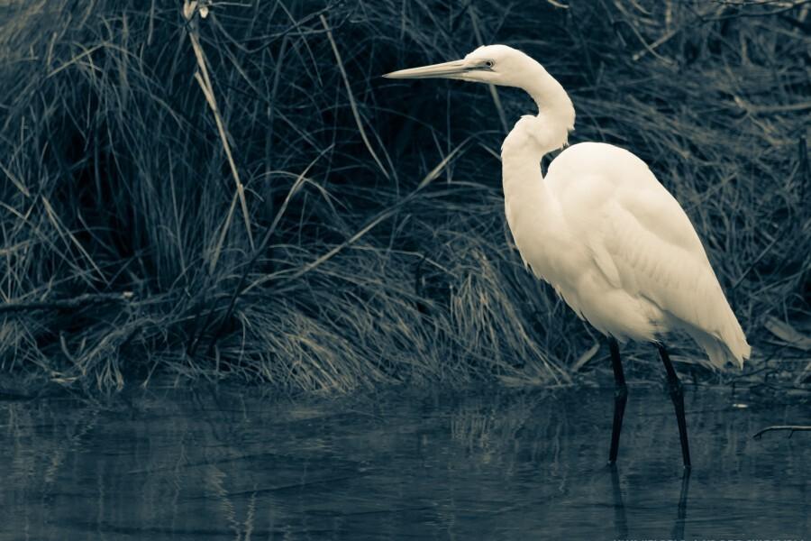 Great White Egret ap 1839 B&W  Imprimer