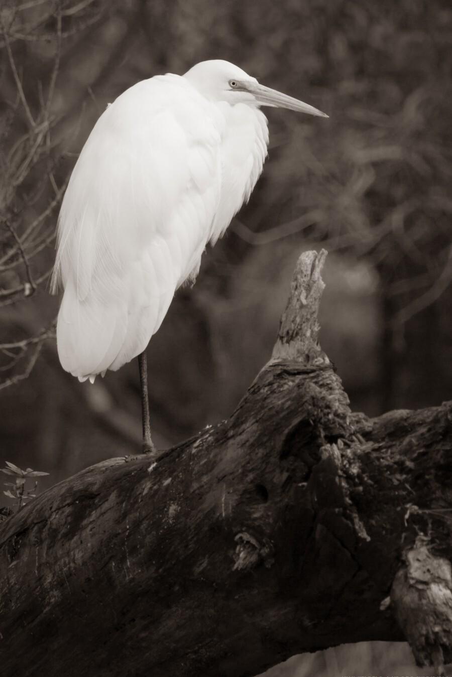 Great White Egret ap 1848 B&W  Imprimer