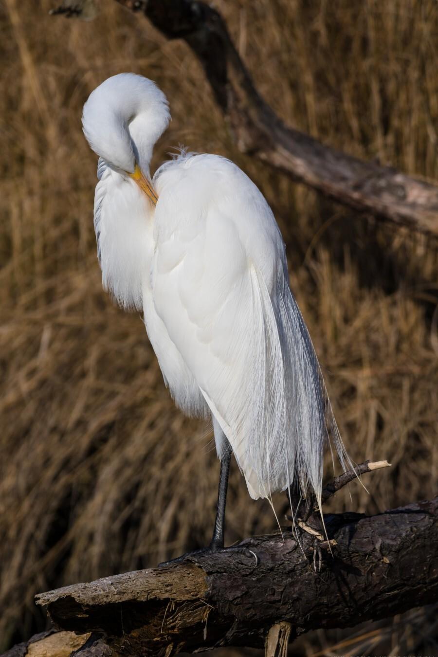 Great White Egret ap 2767  Print