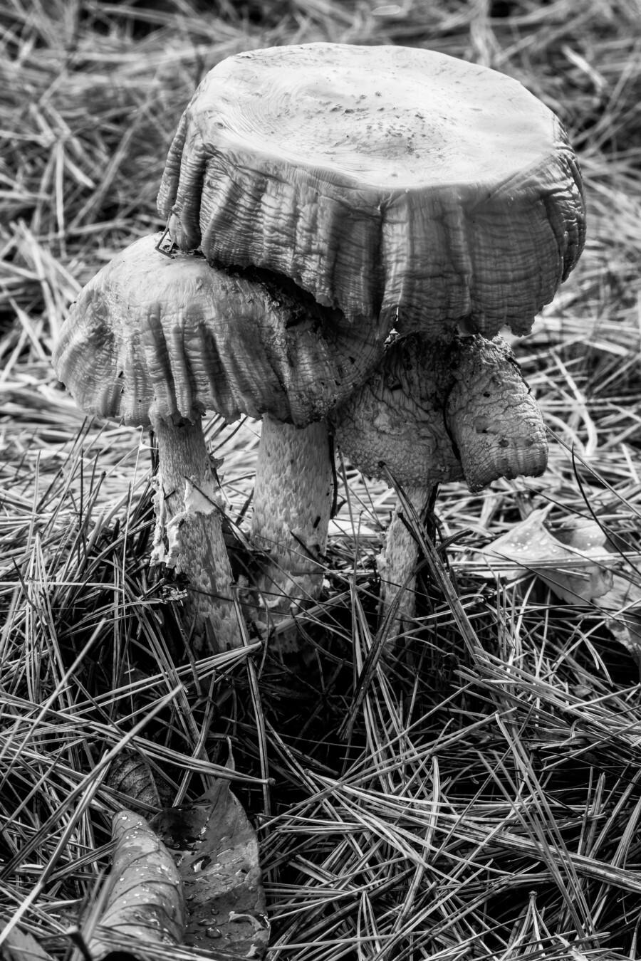 Mushrooms ap 1558 B&W  Print