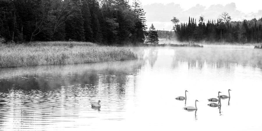 Swan Family ap 2694 B&W  Print