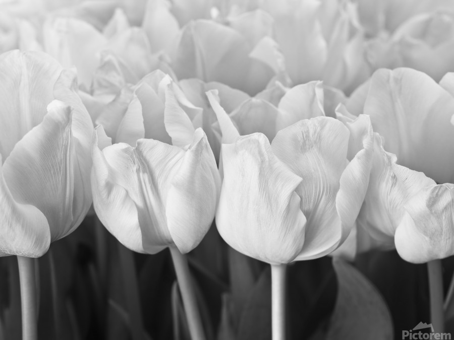 Bunch of Tulips close-up  Print