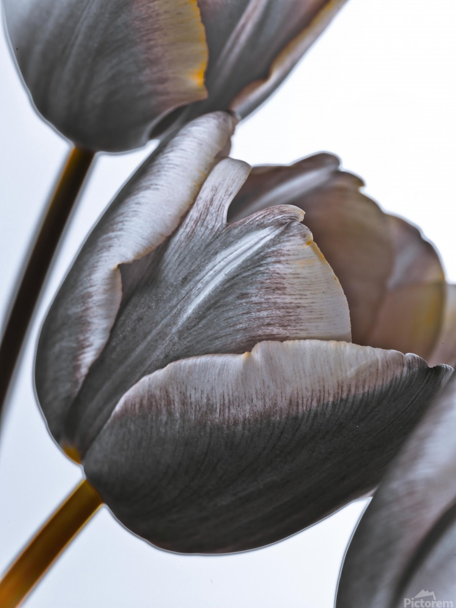 Tulip flowers on white background  Print