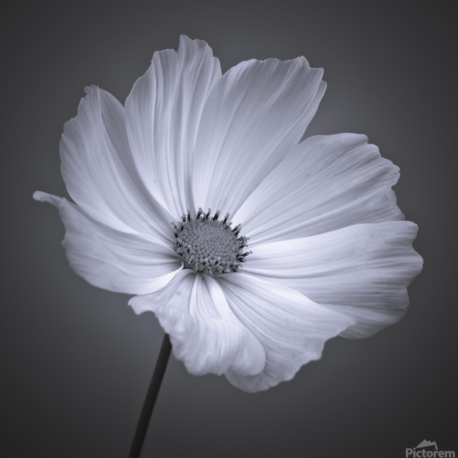 Cosmos flower  Print