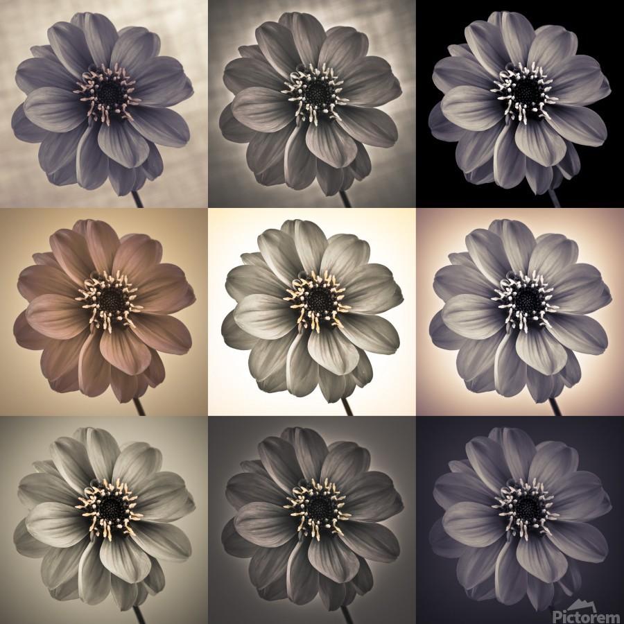 Collage of Dahlias flowers  Print