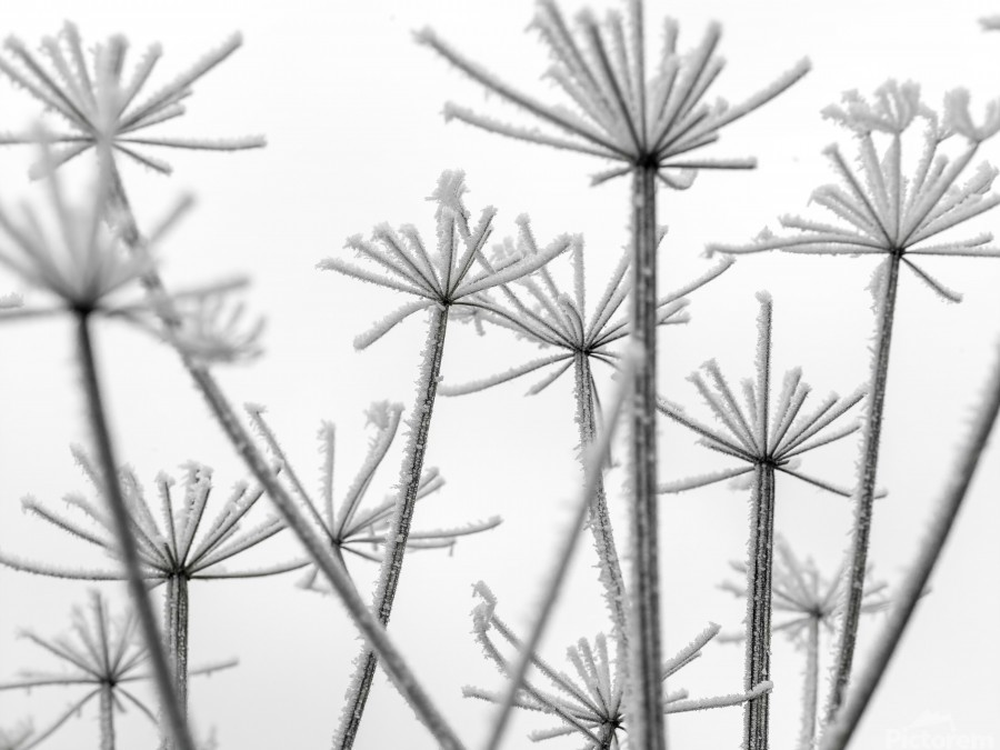 Frosty cow parsley  Print