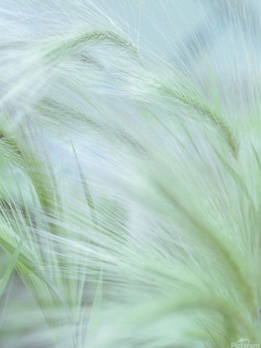 Wild grass Foxtail Barley  Print