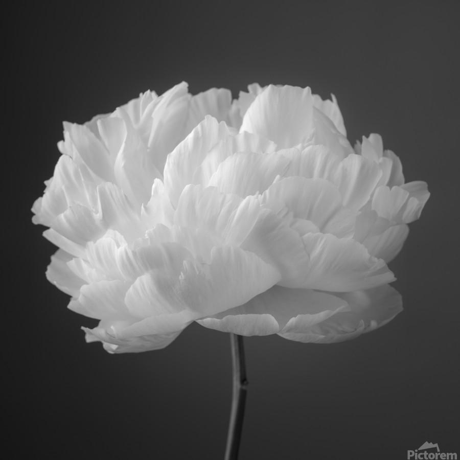Peony flower  Print