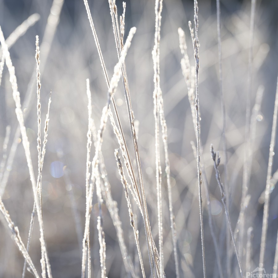 Frost on Grass  Print