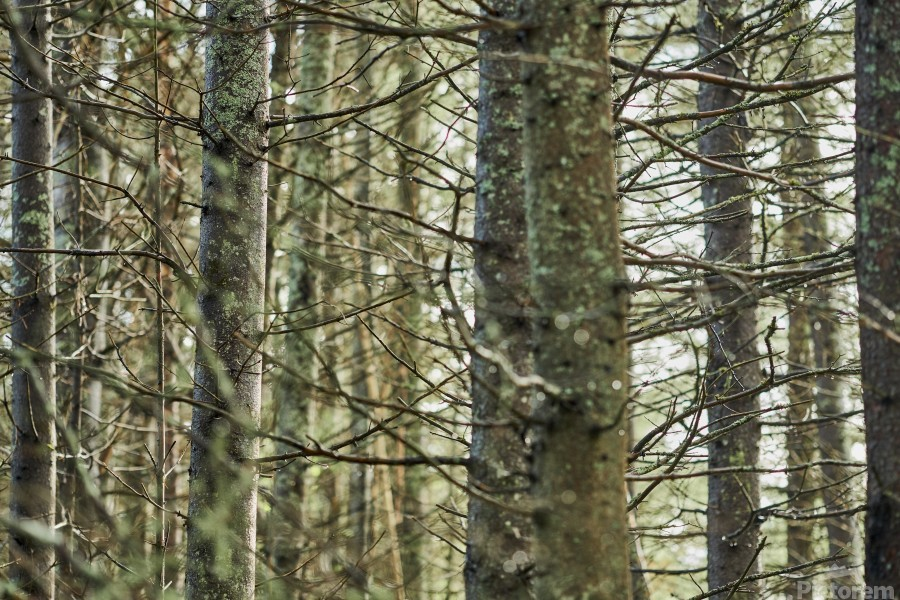 Trees in forest Mauricie National Park Quebec Canada  Print