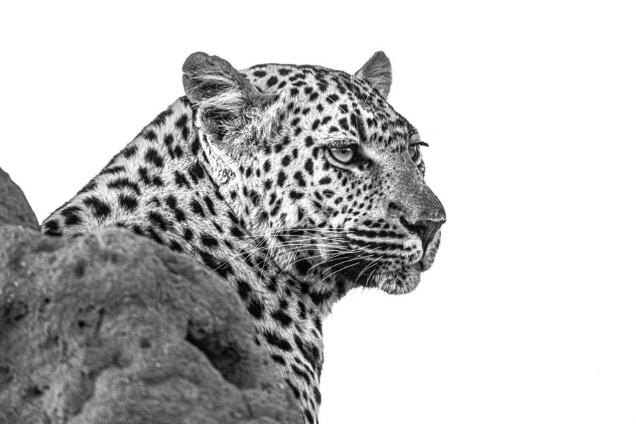 Leopard - B&W  Print