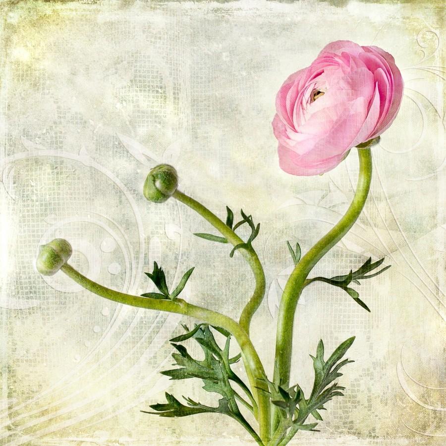 Pink buttercup  Print