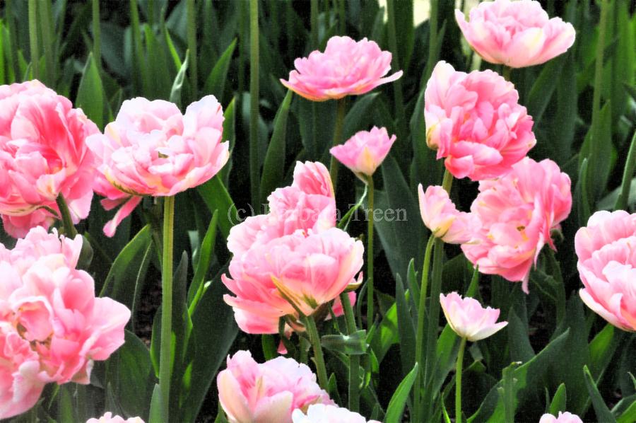 Double Pink Tulips  Print