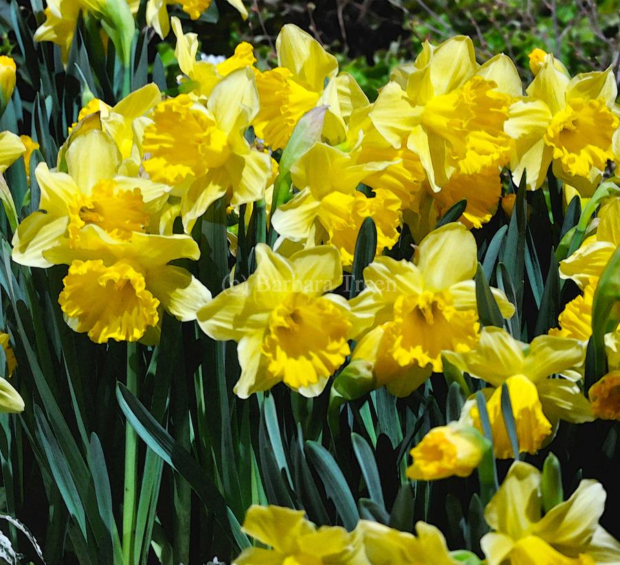 Yellow Daffodils wc  Print