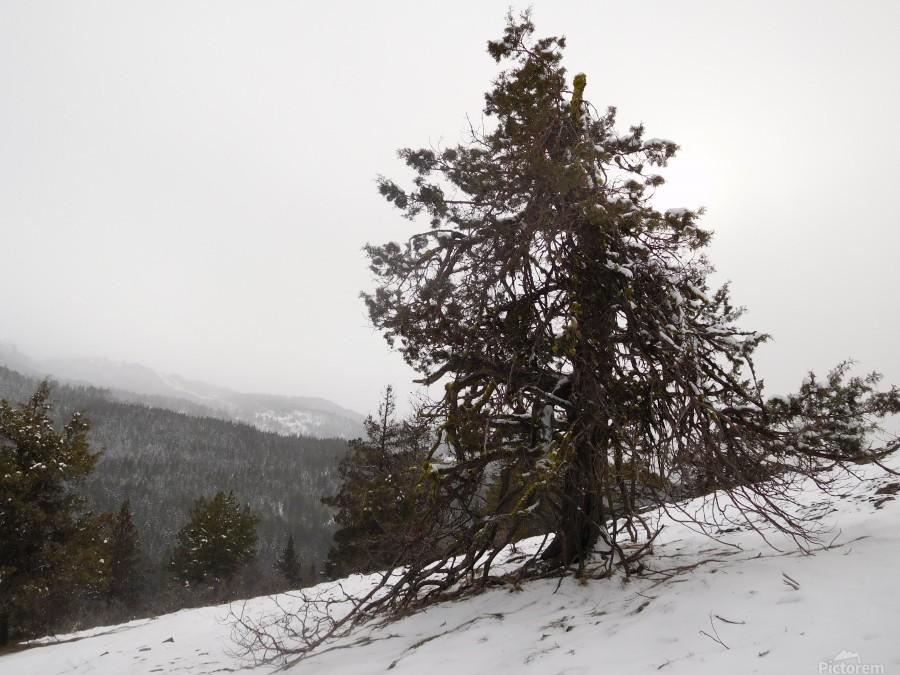Snowy Mountain Juniper  Print