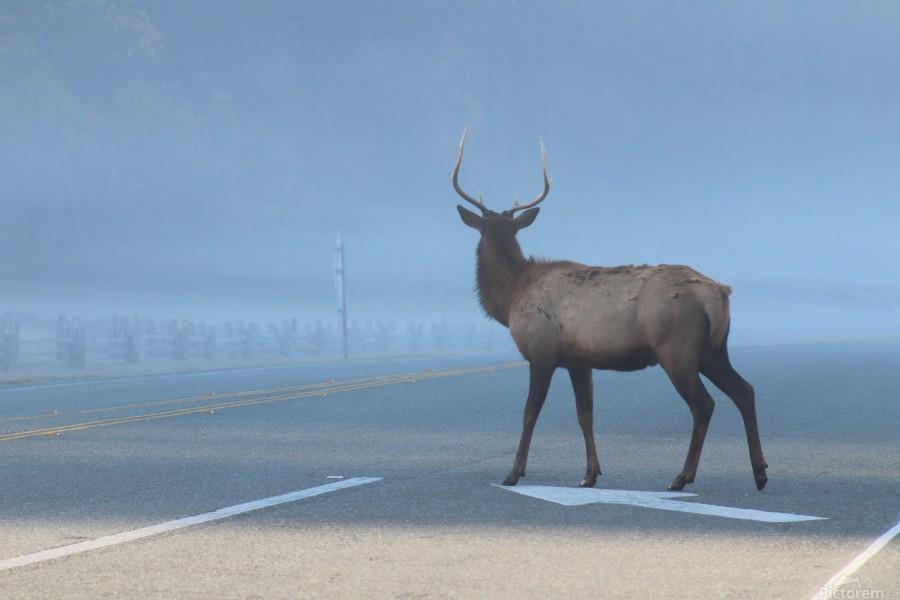 Elk Crossing  Print