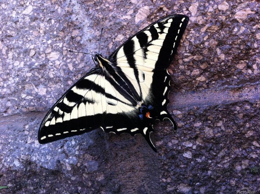 Swallowtail on Stone Wall  Print