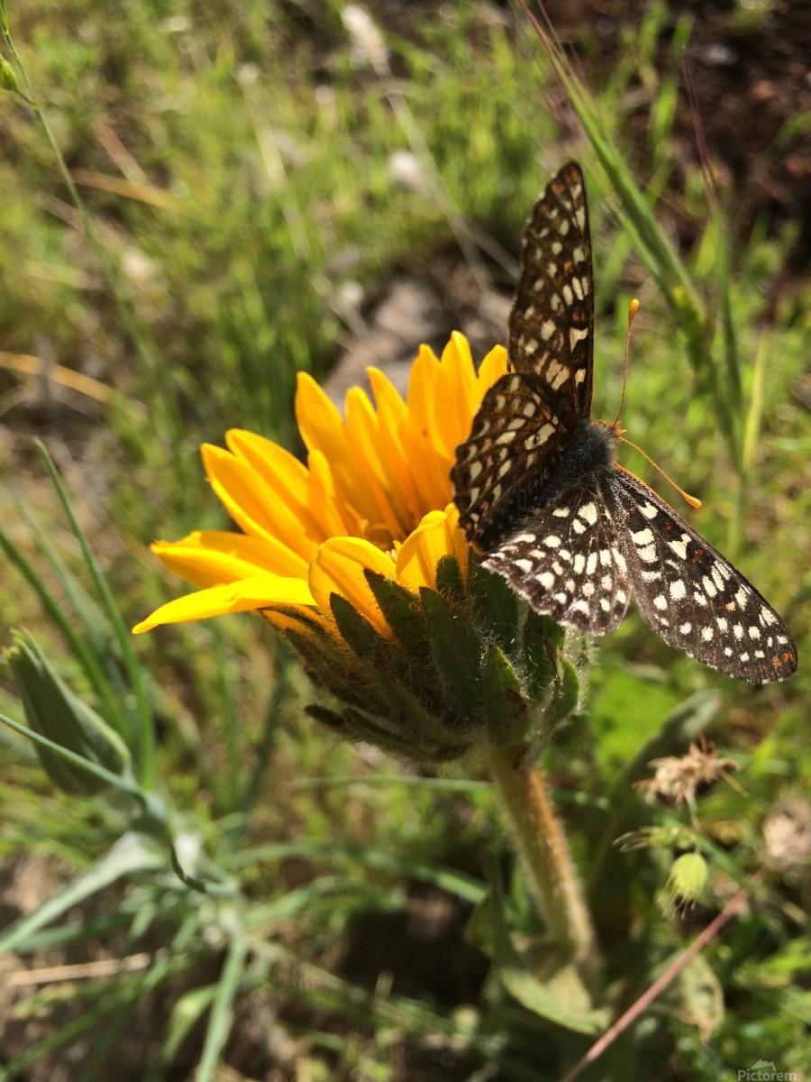 Butterfly on Arrowleaf   Print