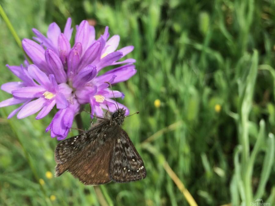 Butterfly on Wildflower  Print