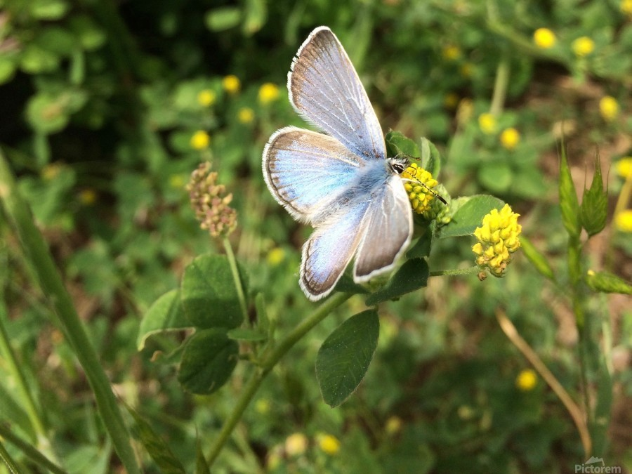 Blue Butterfly on Clover  Print