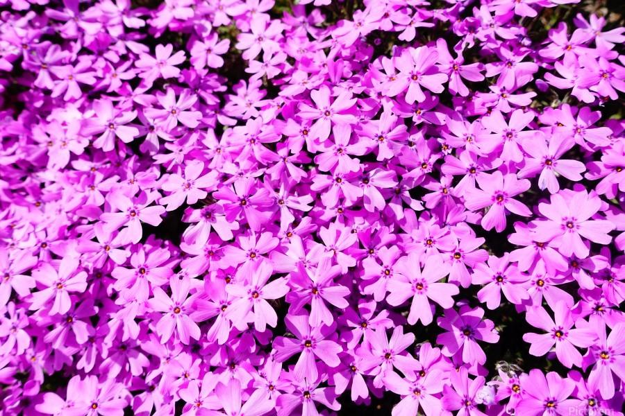Pink Petals  Print