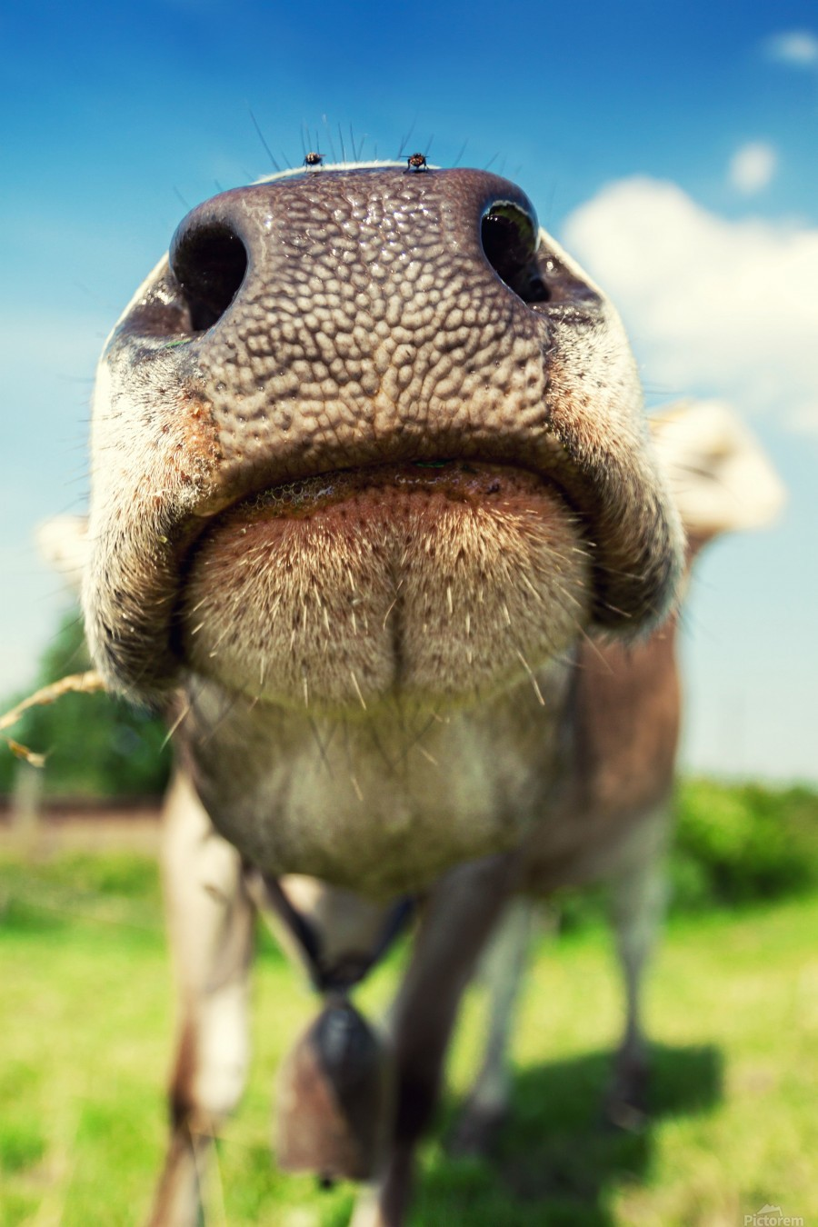 funny nose of a curious cow  Print