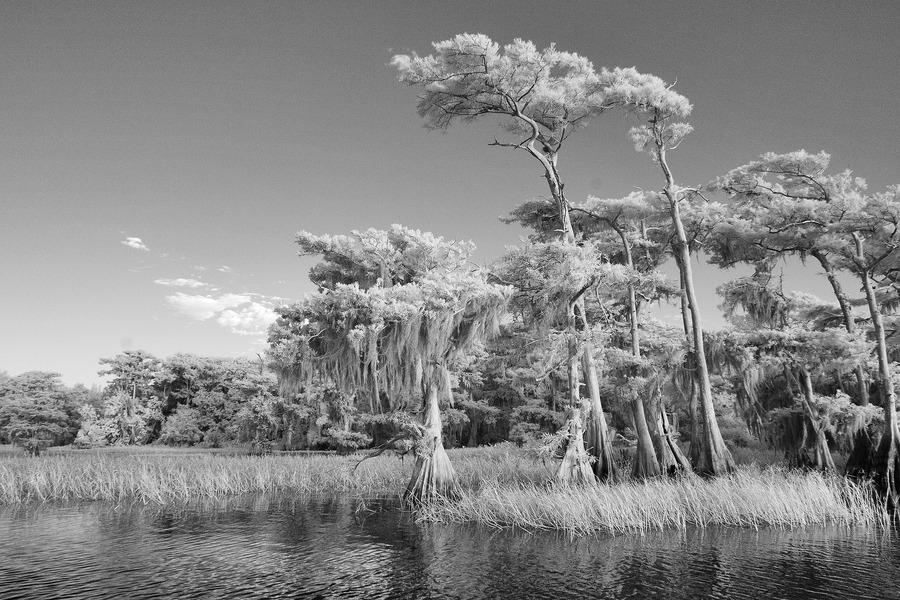 Blue cypress trees horizontal  Print