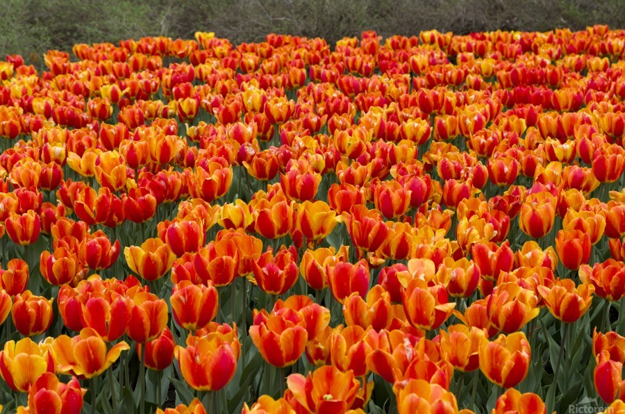 Ottawa Tulip Festival 9  Print