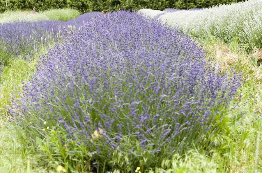 Lavender plants 1  Print