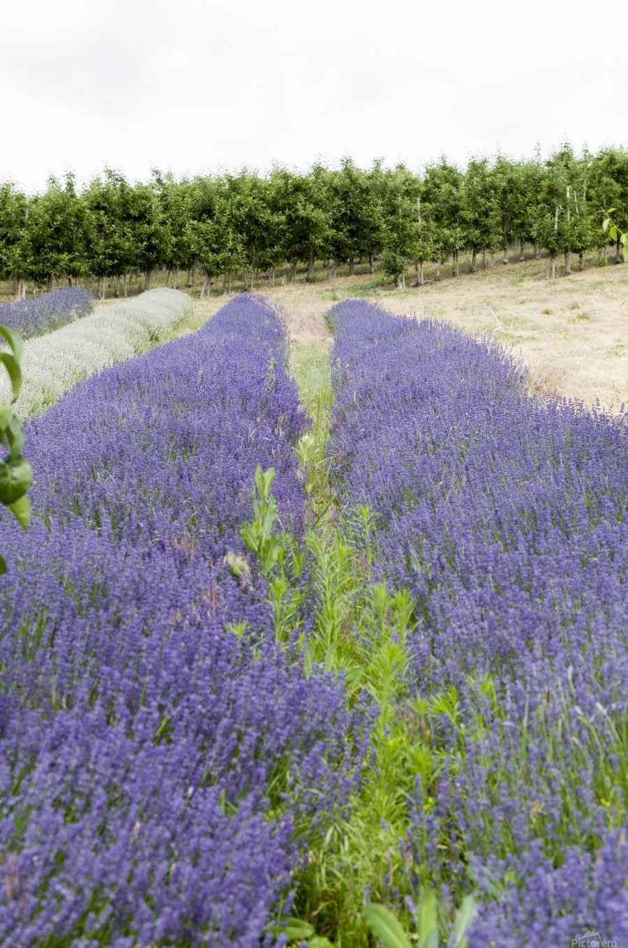Lavender plants and fruit trees 6  Print