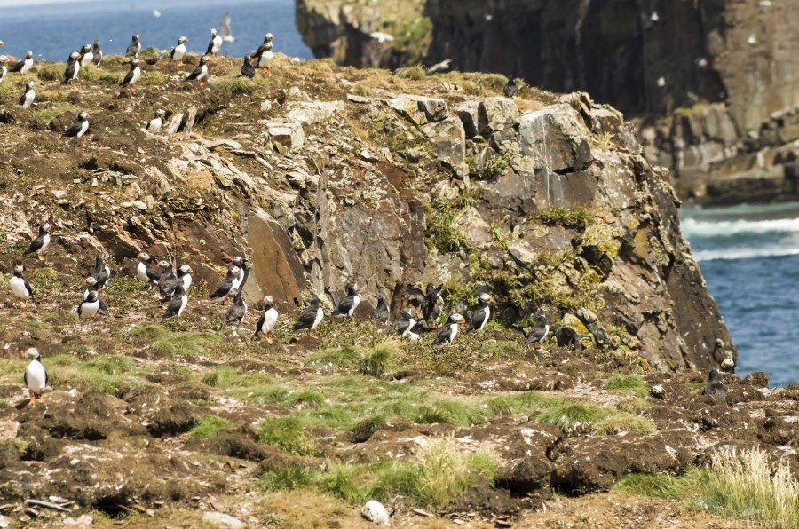 Puffins being puffins 5  Print