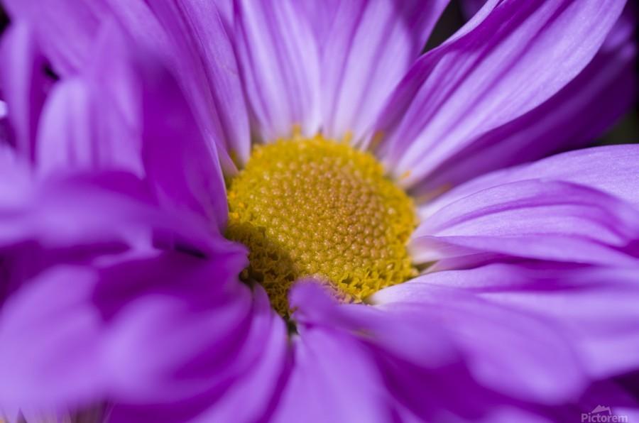 Chrysanthemum  Print