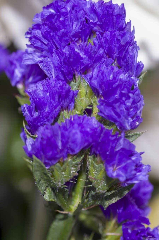 Purple Statice Flower  Print