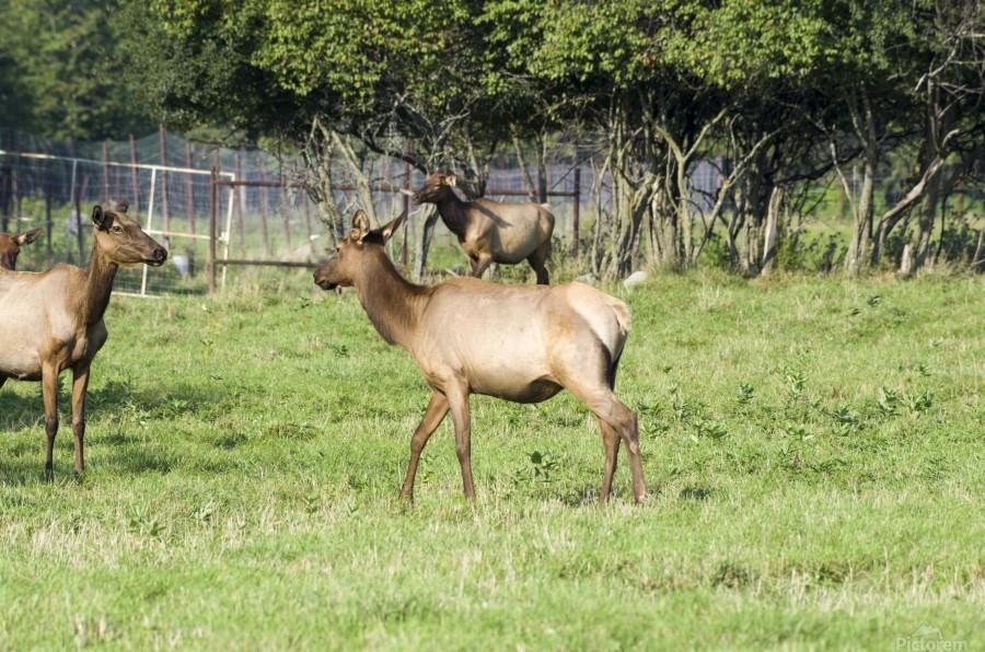 Elk Red Tailed Deer or Wapiti 4  Print