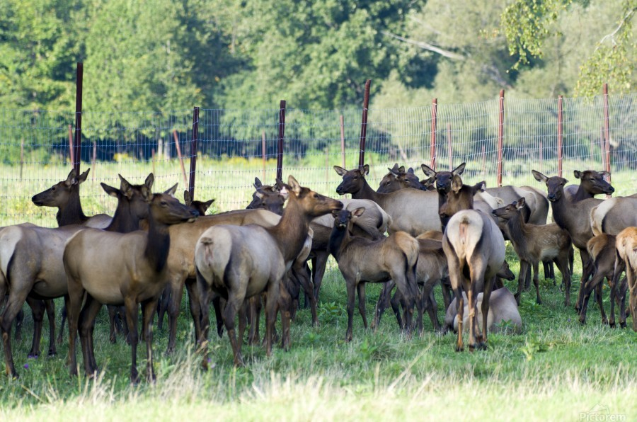 Elk Red Tailed Deer or Wapiti 16  Imprimer