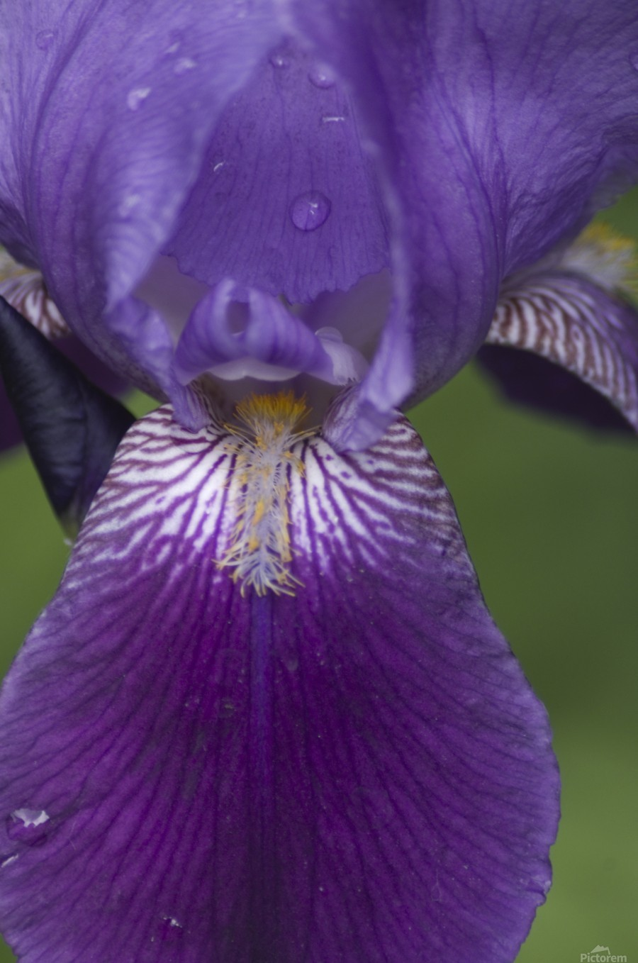 Purple Bearded Iris 3  Print
