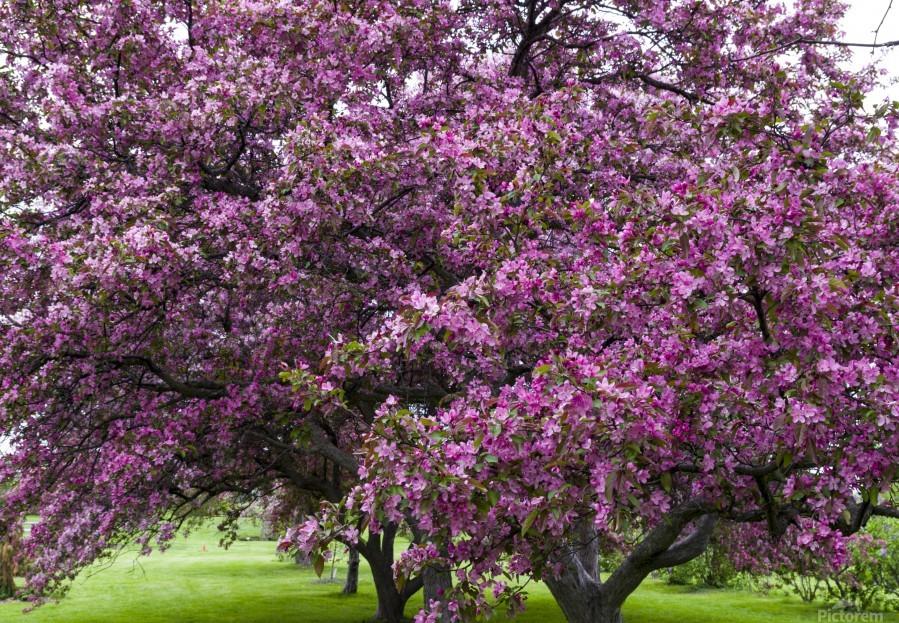 Blooming Crab Apple Trees  Print