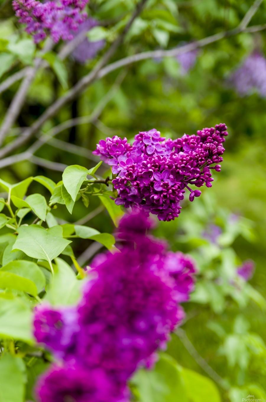 Purple Lilac Blossoms 2  Print